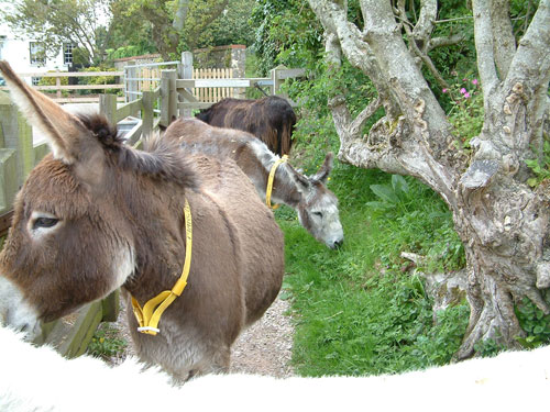 Visit the Donkey Sanctuary near Beer during your Devon cottage holiday